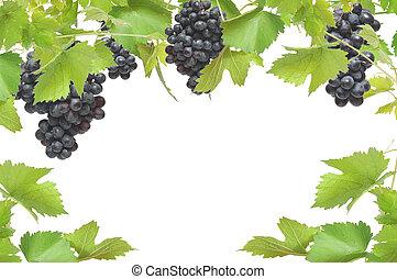 frisk, vinranka, ram, med, svarta druvor, isolerat, vita,...