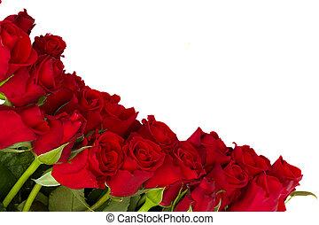 friss, határ, piros rózsa