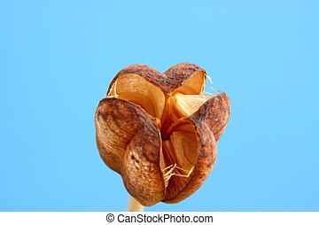 fritillaria seed head