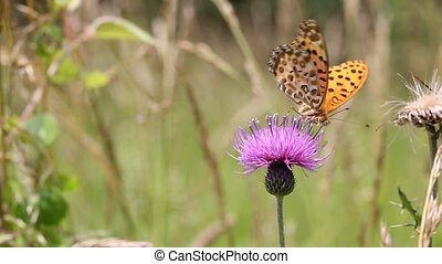 fritillary butterfly, on flower of a thistle