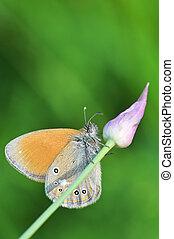 fritillary vlinder, zilver, gewassen, underwing
