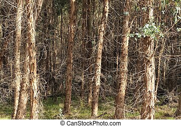Frizzle on the Forest - Plantation trees with much twiggy...