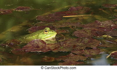 Frog ambush - Green frog sitting in water ambush.