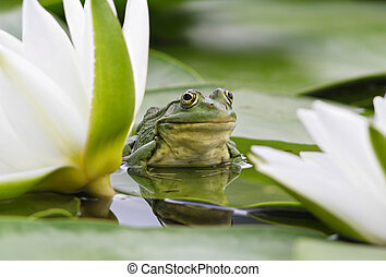 Frog among white lilies - Frog sits on a green leaf among...