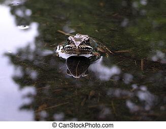 Frog broun