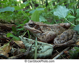 Frog - brown jumper, (Rana temporaria)