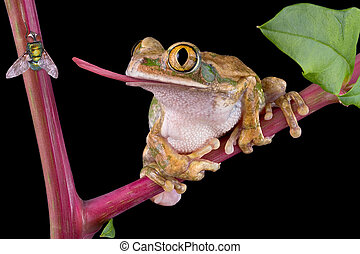 Frog catching fly with tongue - A bog-eyed tree frog is...