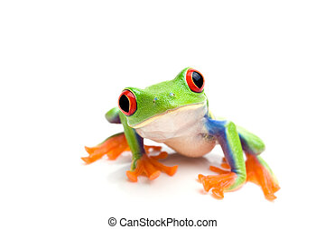 frog closeup on white - frog macro - a red-eyed tree frog (...