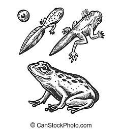 Frog embryo and tadpole animal engraving vector...