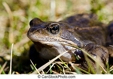 Frog eye macro closeup of wet amphibian animal between grass.