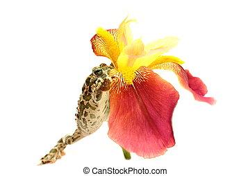 frog flower