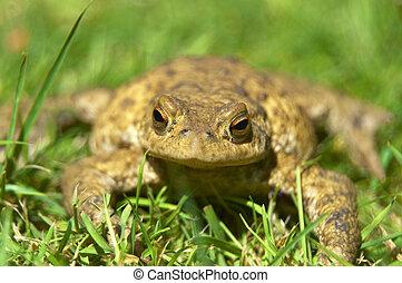 Frog - frog in the garden
