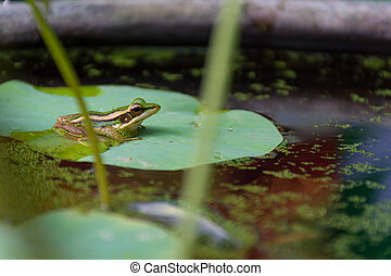 Frog (Green Frog) on a lotus leaf