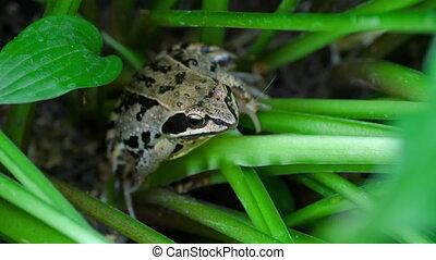 Frog head in grass closeup