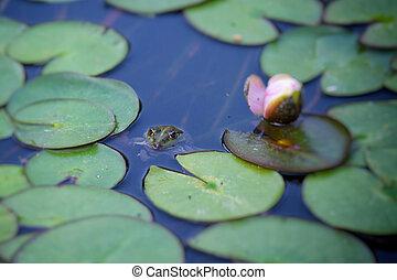 Frog hidden in lake plant