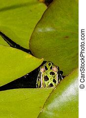 Frog hiding amongst Lilypads
