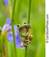 Frog Hyla 2 - A close-up of the frog hyla (Hyla japonica) on...