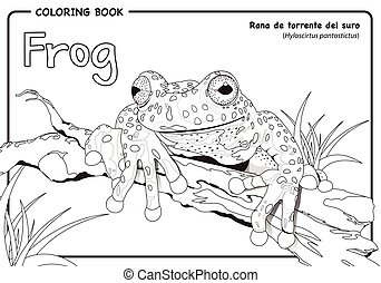 Frog (Hyloscirtus pantostictus) on white background -...
