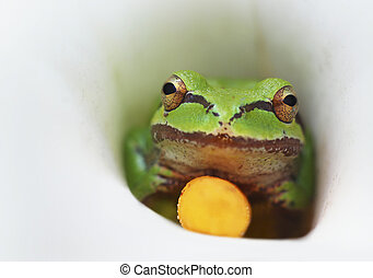 Frog in a Calla Lily Flower - A green frog inside a white...