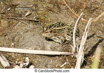 Frog in a Marsh