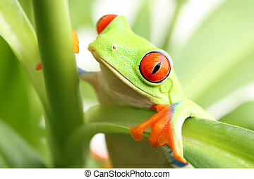 frog in a plant - red-eyed tree frog closeup