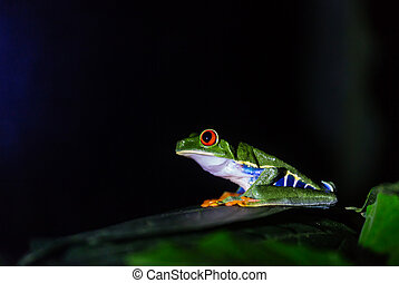 Frog in Costa Rica