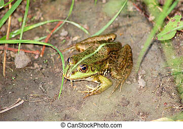 Frog in grass - Green frog on the ground near pond