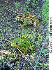 frog in marsh