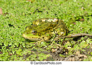 frog in pond. nature wildlife