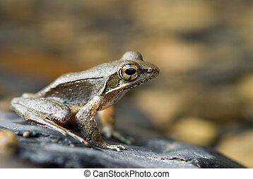 Frog in river stone (Rana sauteri),  East Asia