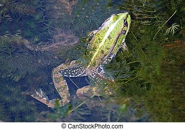 Frog in the algae in the pond