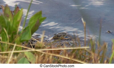 Frog in the lake He pursues a beetle or a fly Hunts Eats an...