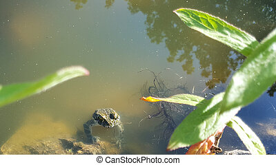 Frog in the pond on a Sunny day