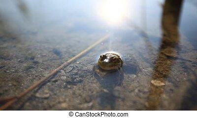 Frog in the pond. - Frog in the pond in the morning. HD....