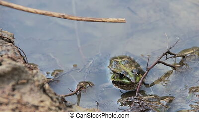 Frog in the River - Green frog sitting in the river. Full HD...