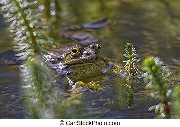 Frog in the water between reeds