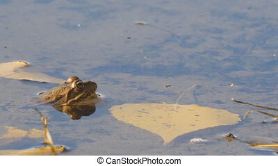 Frog in the water next to the autumn leaves - Frog in the...