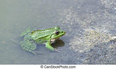 frog in water - frog in water
