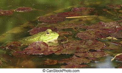 Frog in water - Green frog sitting in water ambush.
