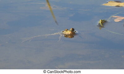 Frog is in the water, then jumps to the side - The frog is...