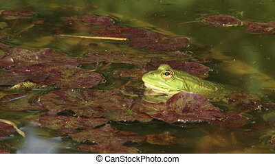 Frog is on the water