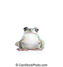 frog isolated on white - a green tree frog looking into...