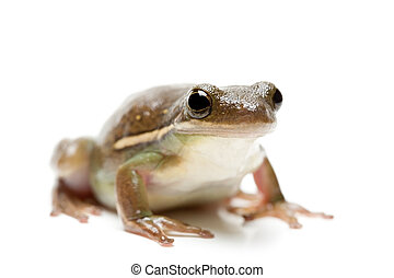 frog isolated on white, macro with shallow dof and focus on ...