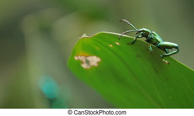Frog-legged leaf beetle on green leaf. Malaysia.