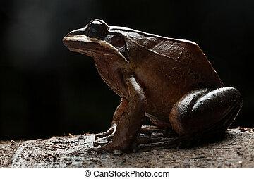 Frog leptodactylus rhodonotus