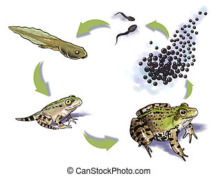Frog life cycle - Digital illustration of a frog life cycle