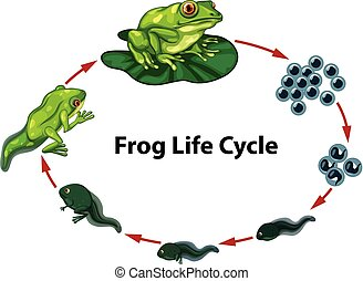 Frog life cycle digram