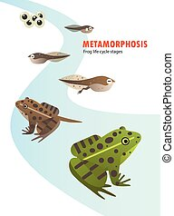 frog life cycle metamorphosis