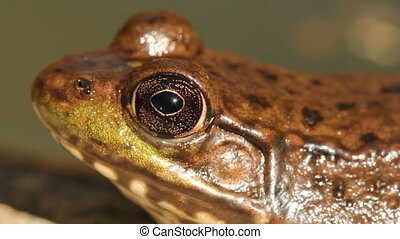 Frog. Macro. - Extreme closeup of frog. Shallow depth of...