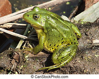 Frog near the pond